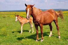 Free Foal With A Mare On A Summer Pasture Stock Photo - 20345610