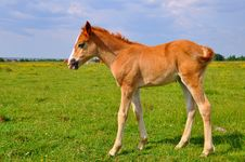 Free Foal  On A Summer Pasture Royalty Free Stock Image - 20345656
