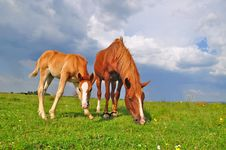 Free Foal With A Mare On A Summer Pasture Stock Photography - 20345692