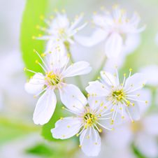 Free White Cherry Blossoms Close-up Royalty Free Stock Images - 20345949