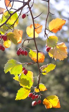 Free Berries Of Autumn Royalty Free Stock Photos - 20346088