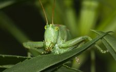 Free Green Grasshopper Royalty Free Stock Photography - 20346537