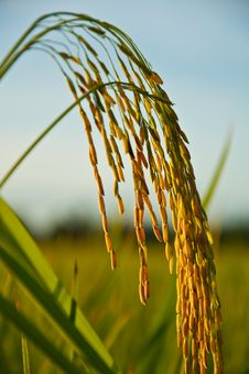 Free Spike In Thai Farm Rice Near Sunset Royalty Free Stock Images - 20346699