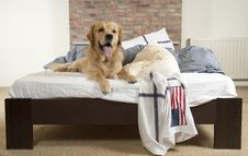 Free Golden Retriever Demolishes A Pillow Royalty Free Stock Images - 20347709