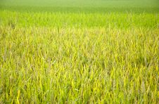 Free Rice And Rice Seedlings Stock Photo - 20348270