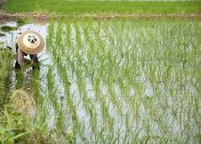 Free Asian Peasantry Grow Rice Royalty Free Stock Photo - 20348815