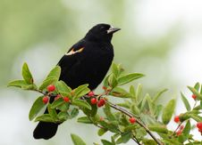 Free Red-winged Blackbird, Fuzzy Green Background Royalty Free Stock Photo - 20349085