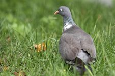 Free Domestic Pigeon Royalty Free Stock Photos - 20349958