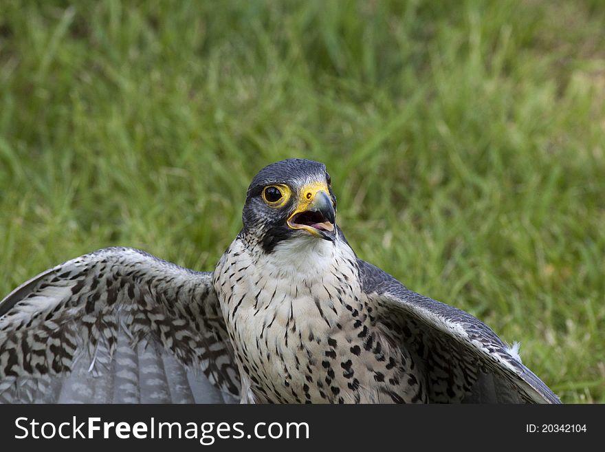 Falcon peregrine (falcon peregrinus)