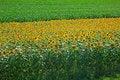 Free Sunflower And Corn Fields Stock Image - 20351441