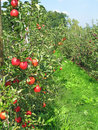 Free Apple Garden Royalty Free Stock Image - 20351966