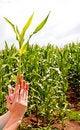 Free Corn Plant Stock Photography - 20352512