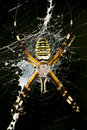Free Wasp Spider Stock Photo - 20352780