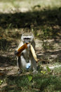 Free Vervet Monkey Royalty Free Stock Images - 20358089