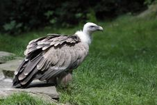 Free Griffon Vulture Royalty Free Stock Photos - 20350208