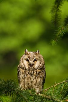 Free Long Eared Owl Royalty Free Stock Image - 20350446