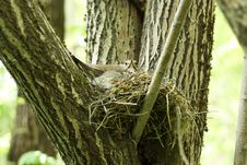 Free Bird On The Nest Royalty Free Stock Images - 20350449