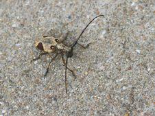 Free Longhorn Beetle Stock Images - 20350494