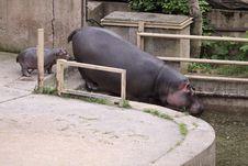 Free Hippo Family Royalty Free Stock Image - 20350546