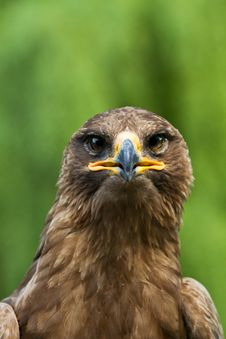Free An Eagle Portrait Royalty Free Stock Images - 20350579