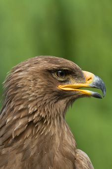 Free An Eagle Portrait Royalty Free Stock Photos - 20350618