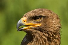 Free An Eagle Portrait Royalty Free Stock Photo - 20350665