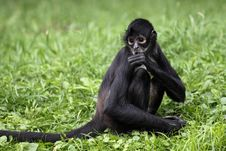 Geoffroy S Spider Monkey Royalty Free Stock Photography
