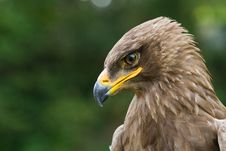 Free An Eagle Portrait Stock Photos - 20350703