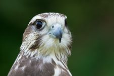 Free A Hawk Portrait Stock Photos - 20350763
