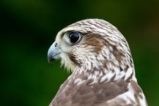 Free A Hawk Portrait Stock Photos - 20350783