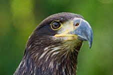 Free An Eagle Portrait Stock Image - 20350801