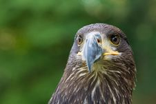 Free An Eagle Portrait Stock Photos - 20350843