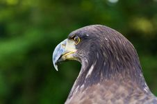 Free An Eagle Portrait Stock Image - 20350861