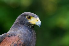 Free A Harris Hawk Stock Images - 20350884
