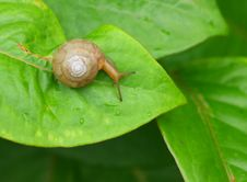 Free Snail Royalty Free Stock Image - 20351076