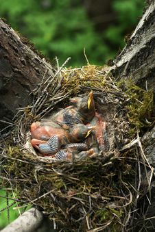 Free Newborn Chicks In The Nest Of A Thrush Stock Images - 20351264