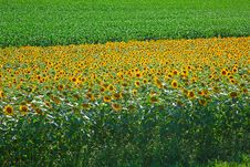Free Sunflower And Corn Fields Stock Image - 20351441