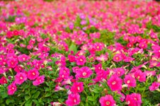 Free Beautiful Petunia In The Garden Royalty Free Stock Image - 20351566