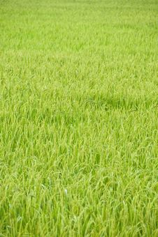 Free Golden Rice Field In Thailand Royalty Free Stock Photo - 20351985