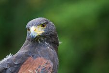 Free A Harris Hawk Stock Image - 20352341
