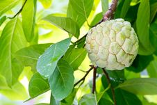 Free Custard Apple Stock Photography - 20352342