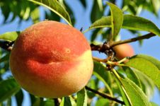 Free Close-up Of The Peach Royalty Free Stock Image - 20352376