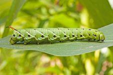 Free Tomato Hornworm Caterpillar Royalty Free Stock Image - 20352776