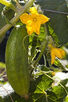 Free Cucumber Growing On Plant Royalty Free Stock Photos - 20352778