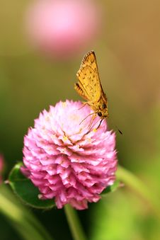 Free Skipper Butterly Stock Photos - 20353113