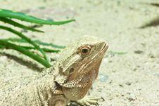 Free Little Lizard, Bearded Dragons Stock Photos - 20353553