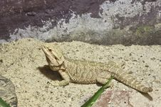 Free Little Lizard, Bearded Dragons Stock Images - 20353604