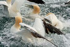 Free Gannets Feeding Royalty Free Stock Photography - 20353697