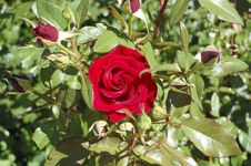 Free Red Rose Stock Image - 20353741