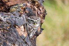 Free A Young Little Owl In Its Natural Habitat Stock Photography - 20353812